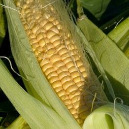 Seasonal Sweetcorn