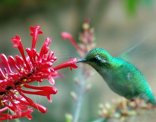 Another humming bird
