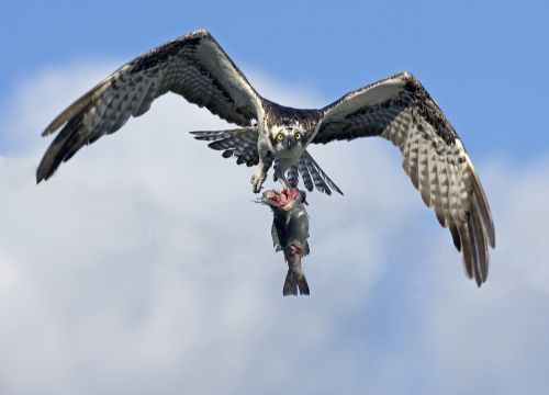 Osprey  with catch, Everglades