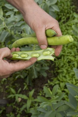 Delicious Broad Beans from River Nene