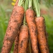 Our amazing carrots!.