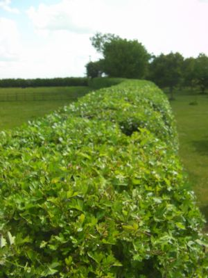 Example of hedge cutting