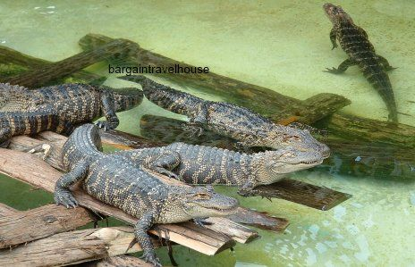 Gatorland-orlando-florida-alligators-bargain-travel-house.