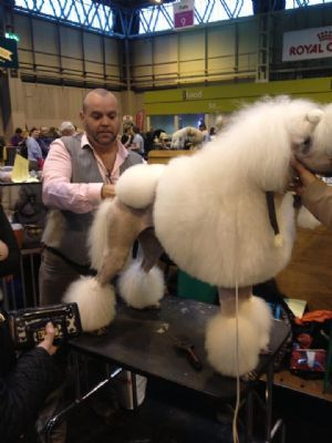 Poodle for show