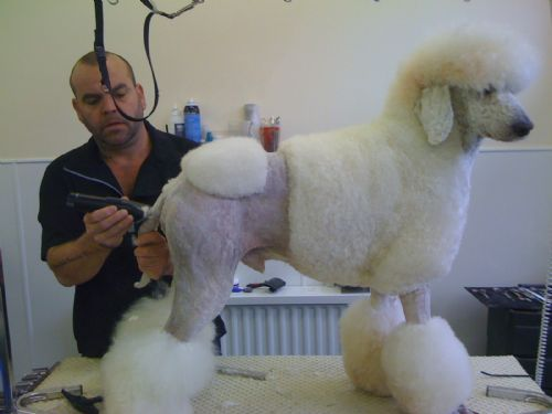Standard Poodle customer