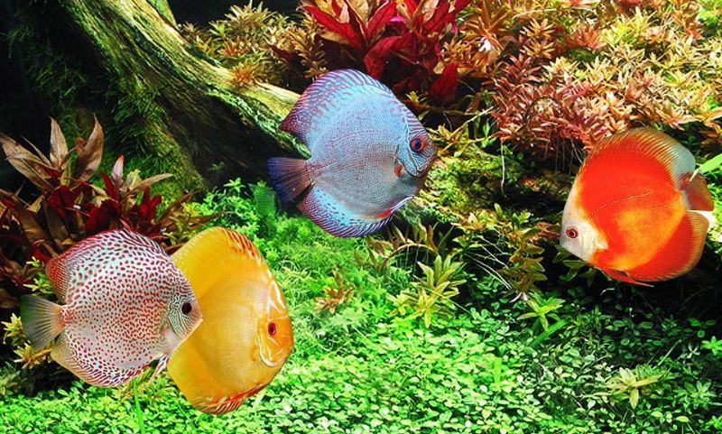 Discus fish sales tropical fish supplier in sutton on for Best place to buy discus fish