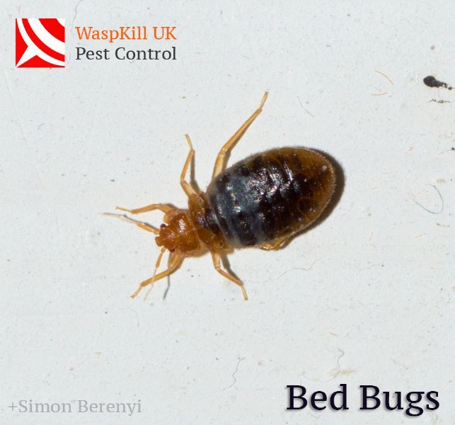 Pest For Bed Bugs