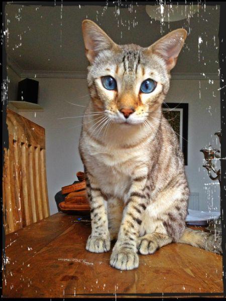candyfloss cats glasgow 209 reviews pet sitter. Black Bedroom Furniture Sets. Home Design Ideas