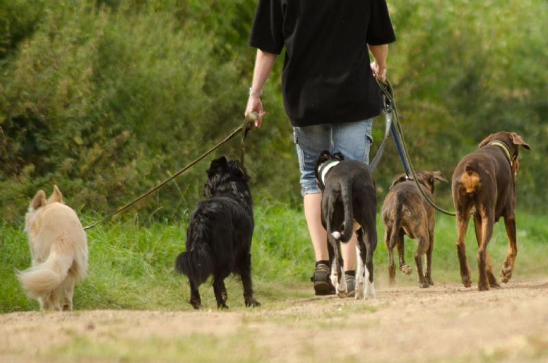 Chester Dog Walker Free